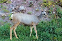 Road side deer grazing at the Black Canyon Royalty Free Stock Image