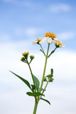 Road side flower under cloudy blue sky Royalty Free Stock Image