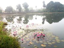 road side pond with waterlily fower tree royalty free stock photos