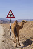 Road sign. Camel crossing road sign in Oman Royalty Free Stock Images