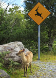 Road sign surrounded by trees, with a young deer. Stock Images