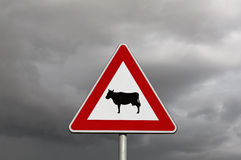 Cattle crossing road. Danger road sign Stock Images