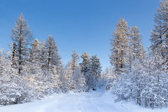 Road in a snowy winter wood. In clear weather Royalty Free Stock Image