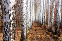 Road in spring birch alley Royalty Free Stock Photos