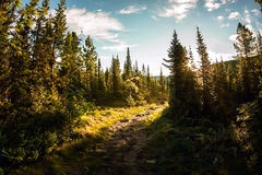 Road in the spruce forest at dawn in the mountains Stock Photo