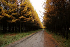 Road and spruce tree in autumn Stock Photography