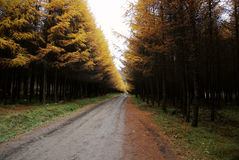 Road with spruce tree in autumn Stock Photos