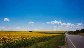 Road stretching out into the sunflower fields Stock Photography