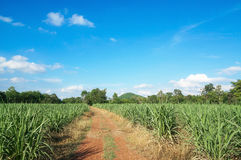 Road in Sugar cane farm with beautiful blue sky and cloud Royalty Free Stock Photography