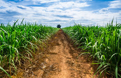 Road in Sugarcane farm. Royalty Free Stock Images