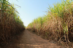 Road in sugarcane field Royalty Free Stock Photos