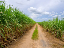 Road in sugarcane field Stock Images