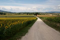 Road on the sunflowers Royalty Free Stock Images