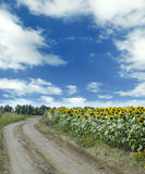 Road and sunflowers Stock Images