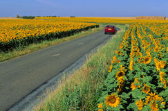 Road and sunflowers. Small country road through fields of sunflowers Stock Photo
