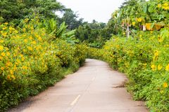 Road through sunflowers garden. Royalty Free Stock Photography