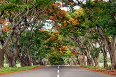 Road surrounded by acacia trees with red flowers Stock Images