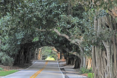 Road surrounded by Banyan trees Royalty Free Stock Images