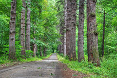 Free Road Through Old Larch Forest Royalty Free Stock Photography - 2762777