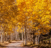 Road to Autumn Aspens. Road through forest of Aspens near Lockett Meadow, Flagstaff, Arizona Royalty Free Stock Photos