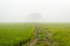Road to big tree in the fog Stock Photo