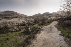 Road to blossoming plums. Rural road to blossoming plum garden Royalty Free Stock Photo