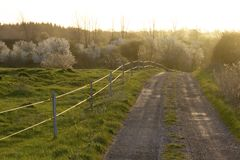 The road to cherry wood trees. In the sunset Stock Images