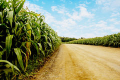 road to corn fields. Stock Photo