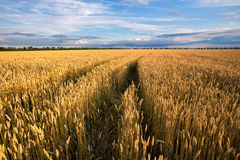 Road to the field with yellow ears of wheat Stock Photos