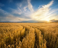 Road to the field with yellow ripening wheat ears Royalty Free Stock Image