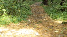 Road to the forest. Autumn road from the leaves leading into the depths of the forest stock footage