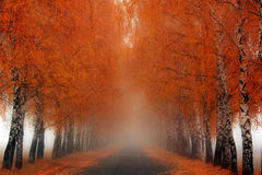 The road to nowhere. Early morning. Heavy fog, birch alley - a road that leads nowhere Royalty Free Stock Photo