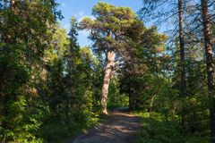 The road to the pier in Monastery Bay on Anzersky Island. Solovki Islands, Arkhangelsk Region, Russia royalty free stock image