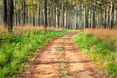 Road to pine forest Stock Image