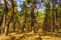 Road To Pine Forest In The Autumn Sunny Day Stock Photography