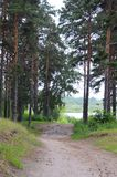 The road to the river through the pine wood. Royalty Free Stock Image