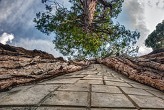 Looking Up the Trunk of a Tree with Paved Stones Lining It. Stairway to Heaven Inside the Trunk of this California Tree Challenges Perspective Stock Photo