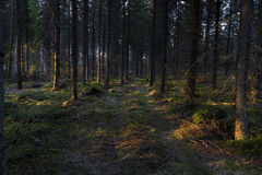 Road to the spruce forest Stock Photos