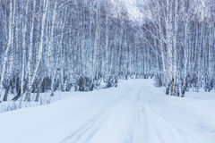 Road to winter birch forest Royalty Free Stock Image