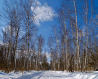 Road to winter birch wood Stock Image