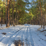 Road  to winter pine forest Royalty Free Stock Image