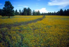 A Road Less Traveled. Dirt road though a flowered meadow in northern Arizona Stock Images