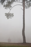 Road and tree in fog. The trees with fog in the forest Stock Images