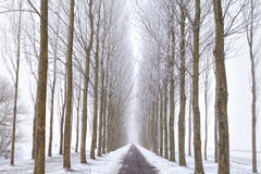 Road between tree rows in winter Royalty Free Stock Photo