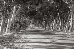 Road between the trees. Tarred road between the trees in black and white Royalty Free Stock Images