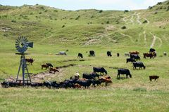Road Trip across the Nebraska Sandhills cattle country. Large group of black cattle standing around a windmill pumping water in a tank in rural Nebraska Royalty Free Stock Photo
