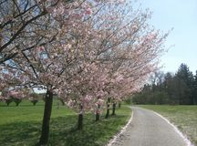 Road under beautiful blooming fruit tree grown in park near Prague in spring stock photo