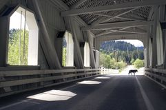Stray Dog Wanders Road under covered bridge Royalty Free Stock Photo