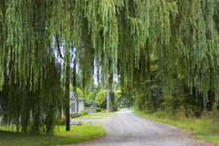 Road Under Weeping Willow. A country road under a large weeping willow tree Stock Image
