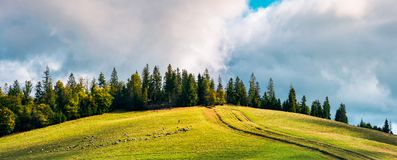 Country road in mountains. Road uphill in to the forest. beautiful countryside panoramic scenery. herd of sheep grazing on the meadow royalty free stock photo